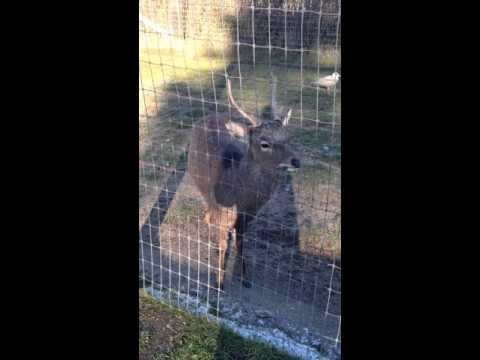 What sound does a sika deer make?