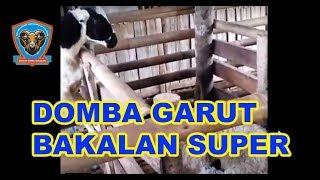 Domba Garut Bakalan (Petet) super usia 4 bulan harga 1,7 jt