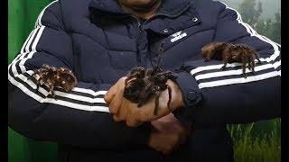 عناكب الترانتولا الضخمة مع جمال العمواسي
