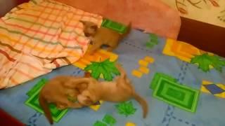Котята играют...Европейская Бурма.  Окрас-шоколад