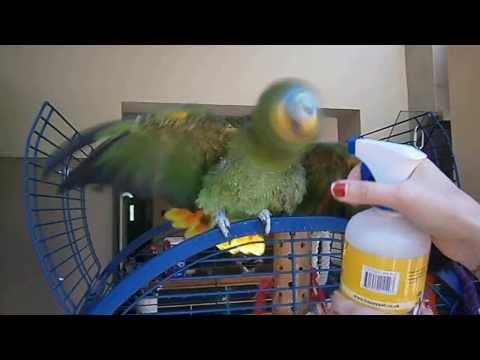 Monty our Orange Winged Amazon Parrot having a shower