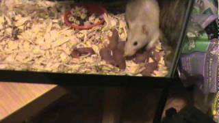 My pet rat Dee Dee gives birth to a dozen babies