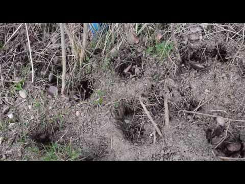 Ameisenvolk Specht Grünspecht Schaden
