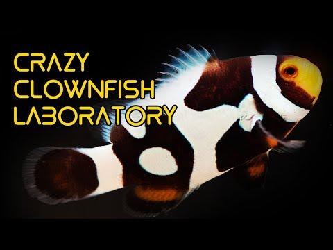 CRAZY Clownfish Laboratory In Taiwan