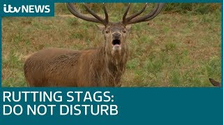 Photographers 'dangerously close' to rutting stags on Richmond | ITV News