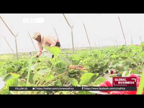 Sweet success story from family owned strawberry farm