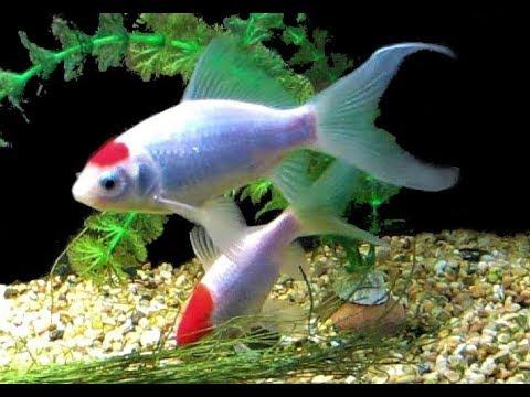 Sarasa Comet Goldfish [Aquarium Fish Tank Setup]