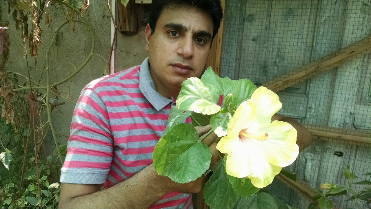 Yellow Hibiscus Meri Pasand How To Care Yellow Hawaiian Hibiscus