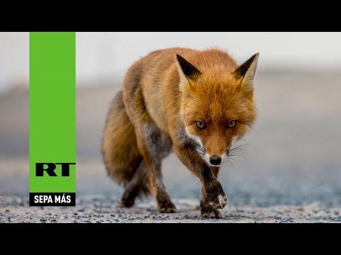 Rusos adoptan a zorros como mascota para salvarles la vida