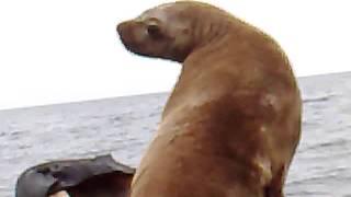 Морской котик залез в лодку  Сахалин 2015
