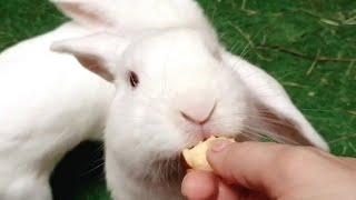 Mis Conejas y la manzana de la discordia! Funny Bunnies Eating 😁🐰