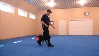 Lady (labrador Retriever) Puppy Camp Dog Training Video
