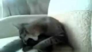 Cat beats itself up