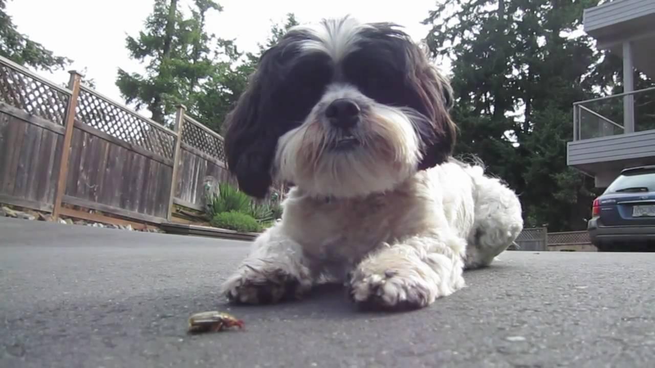 Shih Tzu Bichon Dog Playing With Bug Youtube