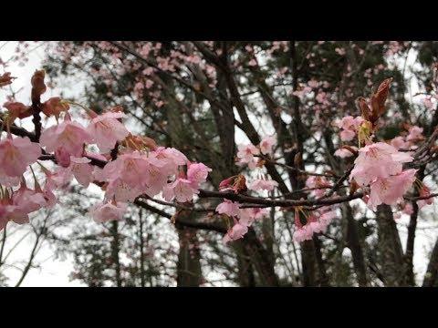 Cherry Blossom front in Kyoto 21MAR2018 Kamigamo Shrine