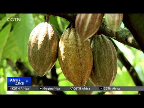 Milder Harmattan season boosts cocoa production levels