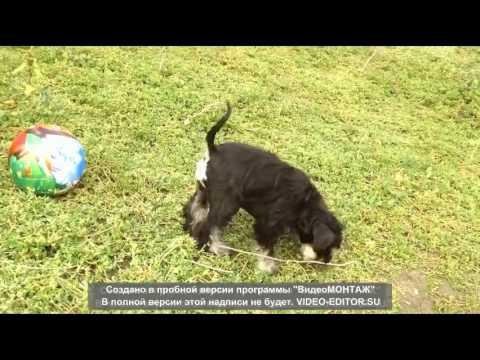 Puppies miniature schnauzer ( female Wave of Success ) for sale