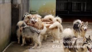 Tham quan trại chó giống Alaska Malamute - Working Dog Kennel  Ideas Viet Nam