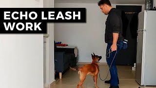 Belgian Malinois Leash Training  Training Echo | Obedience