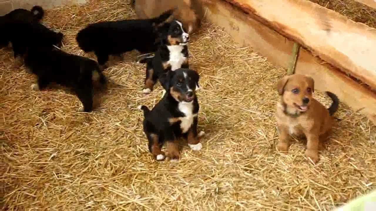 Bernese Mountain Dog Mix Puppies For Sale Youtube