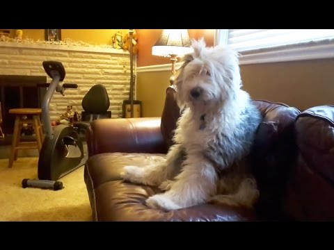 Funny & Cute Sheepdog Compilation