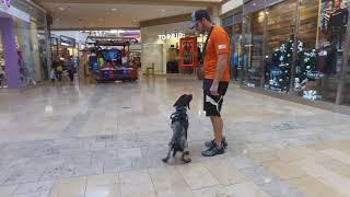 winston 7 mo GSP Best Arizona Dog Trainers
