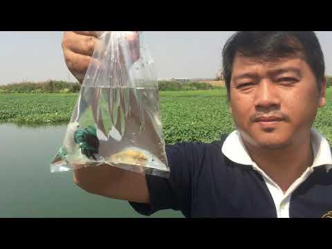 Fishing Betta Fish Halfmoon In River | Amazing Fishing Betta In The Lake