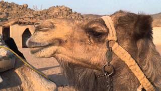 Верблюд отрыгнул, когда жевал колючку  Сахара январь 2012 года Camel Sahara in January 2012