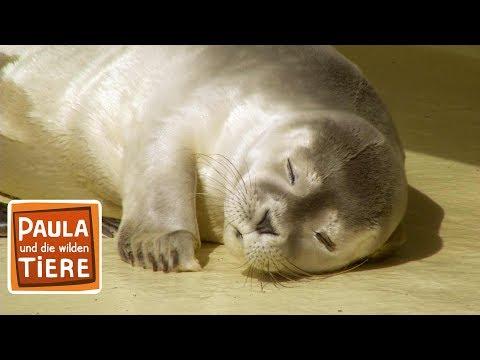 Eine Sandbank voller Robben (Doku)   Reportage für Kinder   Paula und die wilden Tiere