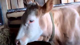 Содержание коровы Ромашки в нашем подворье.