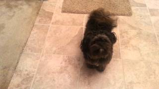 Sophie Dog peekapoo wants to go.