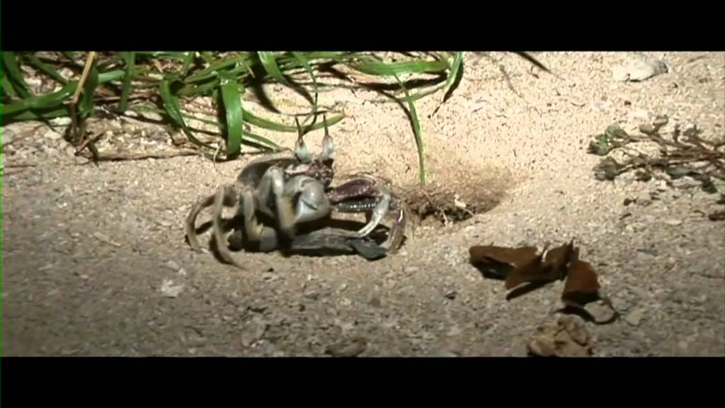 Unlucky baby turtle ends up as Crab dinner  YouTube