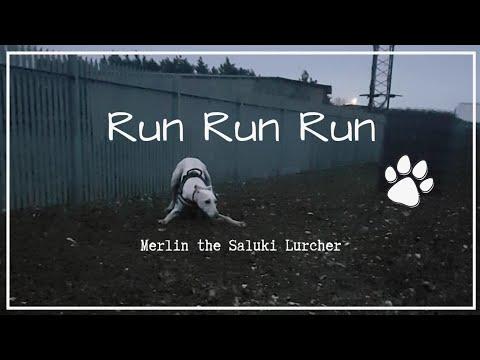Run Run Run 🏃 | Merlin the Saluki Lurcher