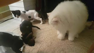 Persian Cat Looking After Three Rescue Kittens While They're Playing!!!