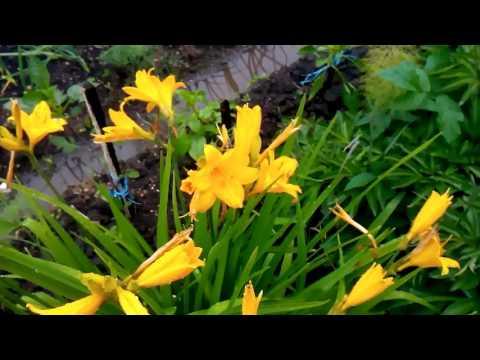 На даче. Цветет жёлтый лилейник