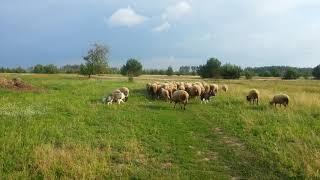 Бордер колли отгоняют овец на выпас. И молодая собака учиться