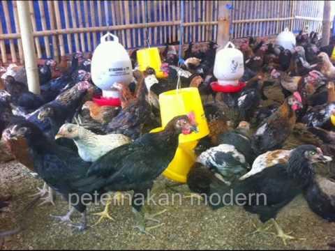 900+ Gambar Ayam Kub  Paling Keren
