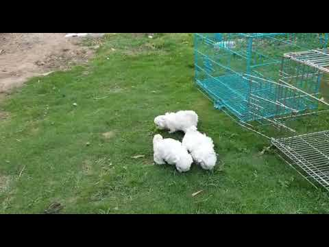 White Lhasa apso puppy for sale in India | Best Price # 9555944924