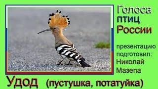 Удод. Пустушка, потатуйка. Голоса птиц России