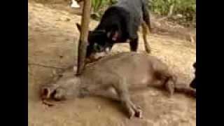 anjing gueh Pembante kejam