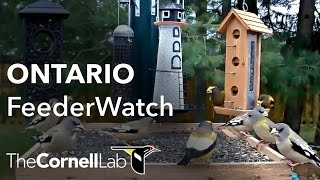 Ontario FeederWatch Cam, Sponsored by Perky-Pet®
