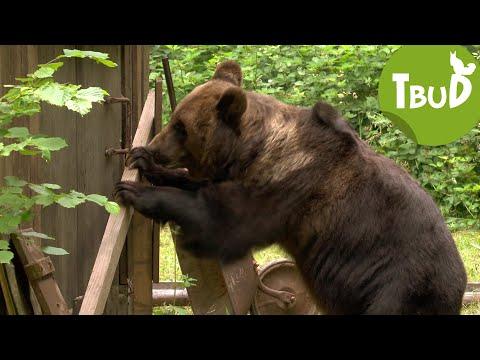 Bären sammeln (Folge 41)   Tiere bis unters Dach   SWR Kindernetz