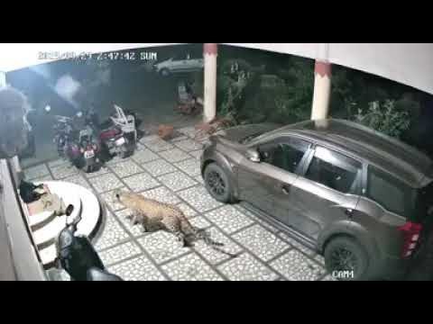 Caught on Tape: A #leopard attacks a #dog outside of a house
