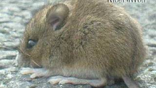 CUTEST BABY VOLE (FIELD MOUSE) TWINS 1.5 Inches 4 cm Gorgeous Tiny Soft light mini small furry little eye ear gray tail sibling gerbil rabbit hare snake prey bird sheep goat hen cock hawk eagle mink danger wtf lol sand public bicycle lane gravel grass
