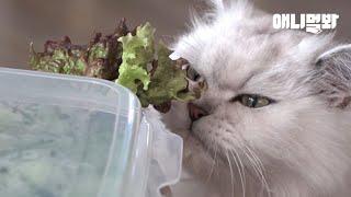 고기보다 채소가 더 좋다는 채식 고양이 웅이! 웅이에게 채소란..☆ #집에서함께애니멀봐 #상추받고깻잎더 #채식냥이웅이 ...