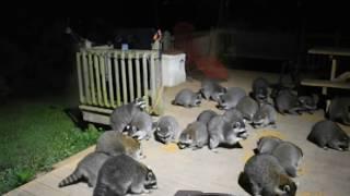 Massive Raccoon Feeding