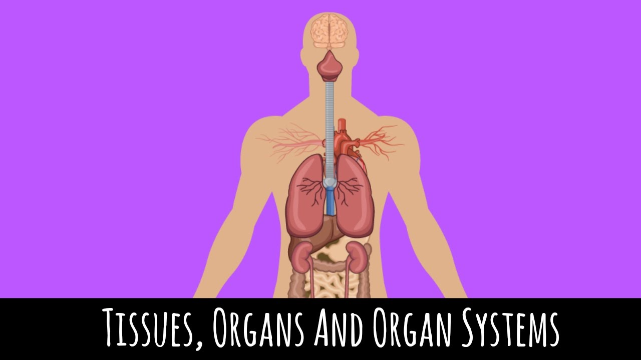 Tissues, Organs and Organ Systems - How The Body Works - GCSE ...