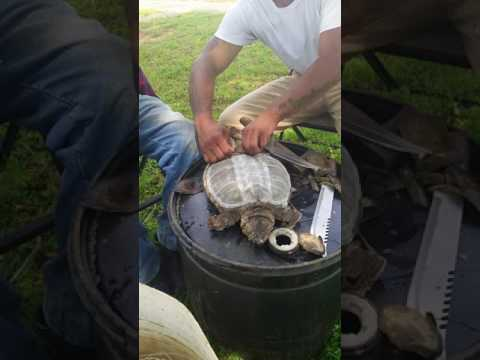 Cleaning a Snapping turtle J.C. Knight #2