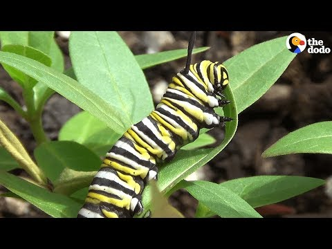 How A Caterpillar Becomes A Butterfly | The Dodo
