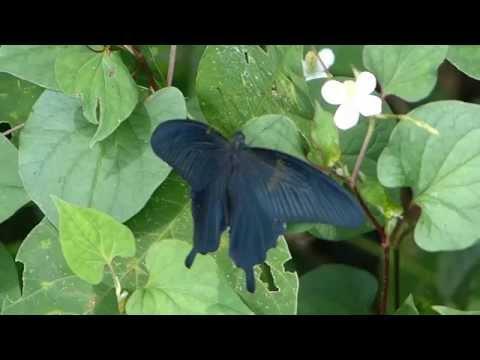 Spangle Swallowtail クロアゲハ♂@ドクダミ葉